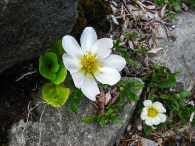 山蓝布, 高山的花, 高山植物群, 高山植物, 仙女 octopetala, 开花, 绽放