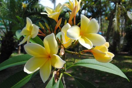 鸡蛋花, 鸡蛋花, 黄色, 花, 热带, 自然, 开花