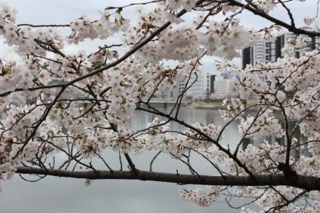 樱桃, 树, 日本, 广岛, 美丽, 樱花, 开花