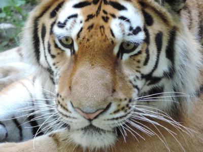 老虎, 猫, 动物园, 野猫, 危险, 关闭