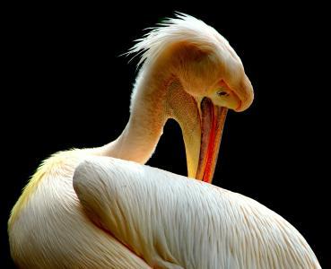 鹈鹕, 鸟类, 自然, 动物, 喙, 羽毛, 一种动物