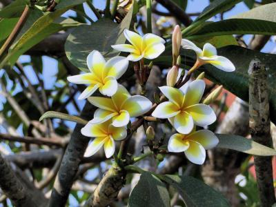 鸡蛋花, 花, 黄色, 异国情调, 亚洲