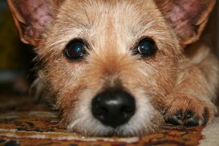 狗, 毛皮, 动物, 宠物, 混合动力, 小狗, 在撒谎