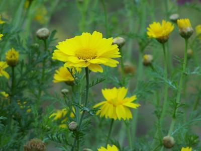 花, 玛格丽特, 夏天的花, 自然, 野花, 花园, 黄色