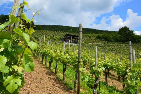 葡萄园, 葡萄藤, 葡萄酒, 葡萄藤股票, 葡萄种植, 边坡, rebstock