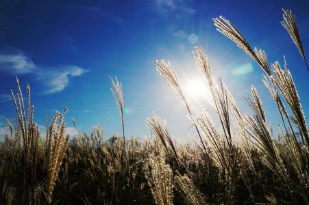 芦苇, 天空, 光, 秋天, 农业, 字段, 增长