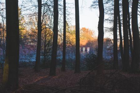 背光, 分支机构, 针叶树, 别墅, 黎明, 夏时制, 干枯的落叶