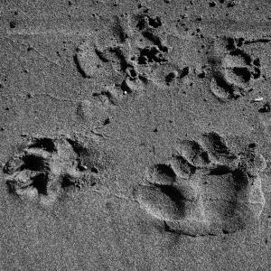 爪子, 打印, 海滩, 沙子, 黑色和白色, 单色, 爪印