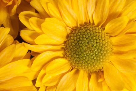 花园菊花, 菊桔梗, 总花粉, 篮形, 自然疗法, 黄色, 宏观