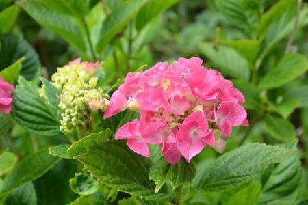 绣球花, 花, 花园, 粉色, 自然, 叶, 植物