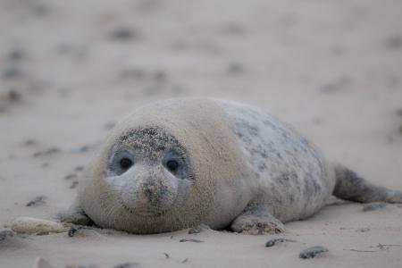 灰色的密封, 罗伯, halichoerus grypus, 海滩, 沙丘, 黑尔戈兰, 北海